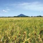 Tăng năng suất lúa nhờ áp dụng công nghệ sinh học